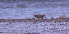 Bar Tailed Godwit Feeds in Wetland. 2K Stock Footage