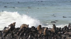 Eared seal colony with babies at Atlantic coast and in water Stock Footage