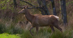 Fallow Deer with antlers walking through long grass Stock Footage