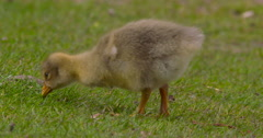 Greylag Goose chick pecks at grass Stock Footage