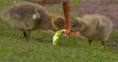 Geese Chicks fight over lettuce leaf 2K Slow Motion Stock Footage