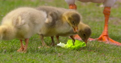 Goslings rip apart lettuce leaf and peck at each other. Slow Motion 2K Stock Footage