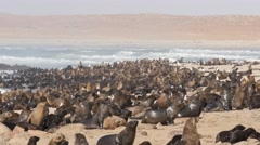 Huge eared seal colony at the beach of Namib desert - stock footage