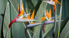 Bird of Paradise flowers Stock Footage