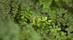 Green maidenhair fern waving in the breeze Stock Footage