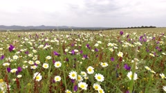 field with flowers on a cloudy day and windy, steady cam gimbal 4k - stock footage