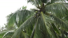 Coconut tree palm under tropical rain storm. Close up Stock Footage