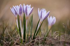 Primrose crocus in the spring meadow Stock Photos