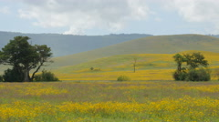Yellow flower fields in the Ngorongoro crater Tanzania Africa - 4K Stock Footage