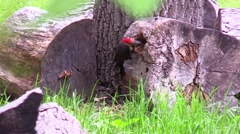 Pileated woodpecker in back yard Stock Footage