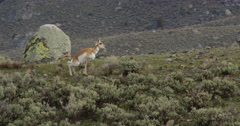 Female pronghorn urinates in the sage near grazing bison Stock Footage