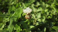 2x bee on clover flower Stock Footage