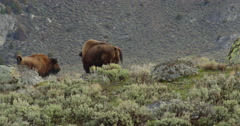 Bison on Yellowstone ridgeline grazing in sage amid boulders Stock Footage