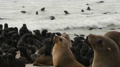Lots of eared seal babies and some adults in and at the water, close Stock Footage