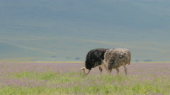 Ostrichs in Ngorongoro crater Tanzania Stock Footage