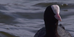 Coot floating on lake waves Stock Footage