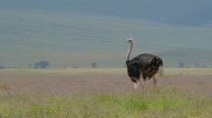 Ostrichs in Ngorongoro crater Tanzania Stock Footage