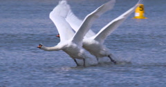 Two White Mute Swans Take Flight From Lake Stock Footage