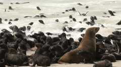 Lots of eared seal babies at the water line and in water, close, pan shot Stock Footage