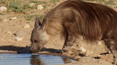 Brown hyena female drinks water from artificial pool, portrait Stock Footage