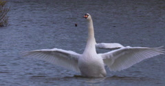 Mute Swan on lake opens wings and flaps with feeding swan in background Stock Footage