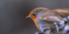 Robin Close Up listening before flying away 2K 150FPS Stock Footage