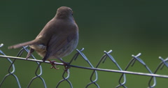 Robin on wire fence flies away 150FPS 2K Stock Footage