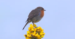 Robin perched on Yellow flower flies off-screen 150FPS 2K Stock Footage