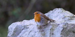 Robin perched on chalky rock looks around before flying off 2K 150FPS Stock Footage