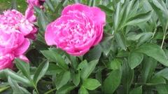 Beautiful pink peony flowers under sunlight Stock Footage