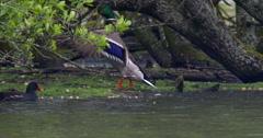 Mallard Duck beats wings as Moorhen swims past - stock footage