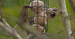 Male & Female House Sparrows are scared off a garden bird-feeder by a Starling Stock Footage