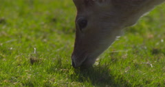 Young Fallow Deer In Summer Meadow Grazing, Adult Passes 150Fps 2K Stock Footage