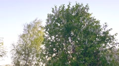 Green tree. Steadicam. Smooth camera motion. Stock Footage
