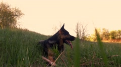 German shepherd playing outdoor. Stock Footage