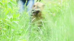 German shepherd and a person going on a grass - stock footage