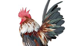 Closeup of rooster on white background - stock photo