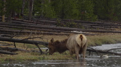 Slow motion elk defecates while wading in river and grazing on grass on bank Stock Footage