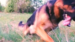 German shepherd playing outdoor. Slow motion footage. Stock Footage