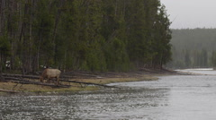Slow motion cow elk on rainy day by river hops over downed timber sees camera Stock Footage