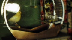 1952: Yellow canary bird caged jumps to perch swings peacefully. Stock Footage