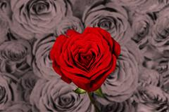 Saturated red rose has heart shape Stock Photos