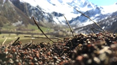 Mountain anthill (formica rufa) - stock footage