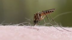 Mosquito blood sucking on human skin - stock footage