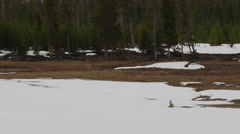 Wide red fox sitting in snow field near forest looking around for prey Stock Footage