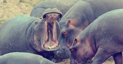 Hippo family (Hippopotamus amphibius) outside the water, Africa - stock photo