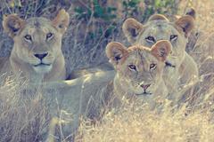 Lion in National park of Kenya, Africa Kuvituskuvat