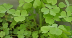 Four Leaf Clover Close Up Dolly Shot, 4K Stock Footage