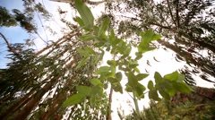 Eucalyptus trees in the andes of Peru Stock Footage