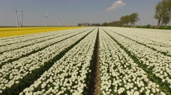 Aerial of a tulip field in the netherlands Stock Footage